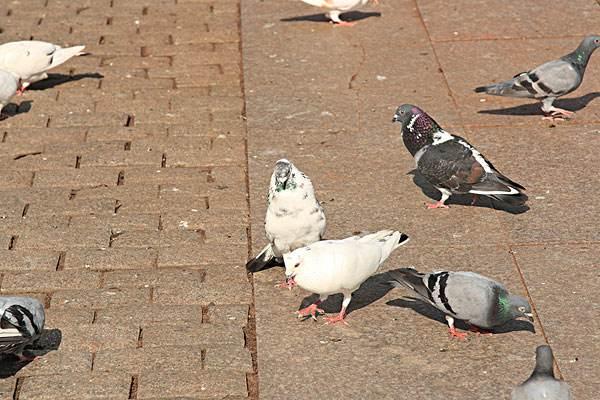 鸽子养殖前景怎么样.jpg