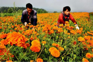 高利润经济作物有哪些?种植经济作物有哪些风险?